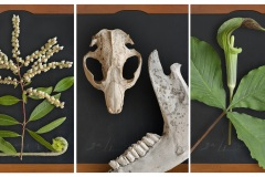 a triptych depicting high resolution imagery of native springtime plants and various animal bones