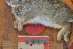 """a closeup vignette of a baby rabbit with ruler and numbered thumb tacks  atop a wooden round. A card states """" Three hops may help you win the game, If not I will take the blame"""""""