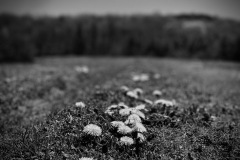A black and white photograph in a grassy field captures a close look at some dandelions in the foreground. the close focus on the flowers directs the viewer back to a blurred tree line.