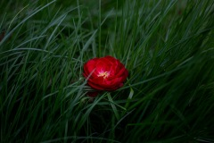 A meditative image of a small red flower contrasted amongst a bed of lucious grass.