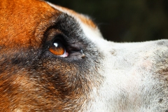 side profile close up of a dogs eye.