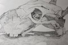 graphite drawing of a cow skull. The range in values showing contour of the skull.